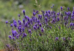 Levendula galamb ellen – az illata hatásos lehet, de másféle praktikák bevetésére is szükség lehet. Érdekességek, hasznos tudnivalók. Plants, Plant, Planets