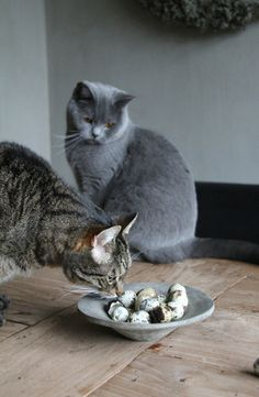 Two cats exploring a dish of yum yums.  Inquisitive and so natural.