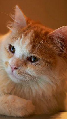 Cute orange/white cat