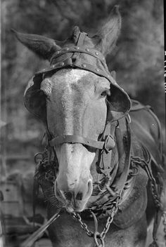 MONDAY MUSINGS: Mules were valuable to many Alabama farmers - here is why - http://alabamapioneers.com/monday-musings-mules-were-valuable-to-many-alabama-farmers-here-is-why/