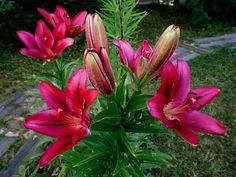 Особенности разведения садовых лилий и ухода за ними:. Обсуждение на LiveInternet - Российский Сервис Онлайн-Дневников