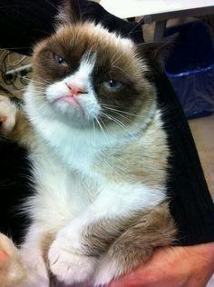Tardar Sauce (aka: Grumpy Cat)--She's just so stinkin' cute! Grumpy Cat Humor, Cat Memes, Grumpy Cats, Funny Cats, Funny Animals, Cute Animals, Crazy Cat Lady, Crazy Cats, Here Kitty Kitty