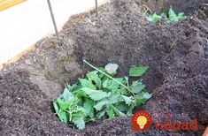 "Nettle for tomato plants Nettle as a natural fertilizer and for the ""w . - Stinging nettle for tomato plants There is stinging nettle as a natural fertilizer and for ""warmi - Fertilizer For Plants, Amazing Gardens, Plants, Garden Images, Growing Vegetables, Tomato Plants, Natural Fertilizer, Garden Plants, Landscaping Plants"