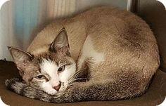 Siamese Cat for adoption in Johnson City, Tennessee - kia (e main)