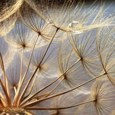 Just something magical about dandelion clocks, perhaps its the early memories...