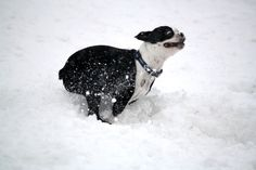 boston terrier in Snow | Boston Terrier playing in the snow | lehighvalleylive.com