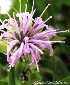 Bee Balm Bloom Where You Are Planted, Native Plants, Maryland, The Balm, Bee, Gardens, Backyard, Creative, Flowers