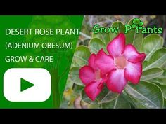 Desert rose plant - Learn how to grow Desert rose plant, plant information - climate, zone, uses, growth speed, water, light, planting & bloom
