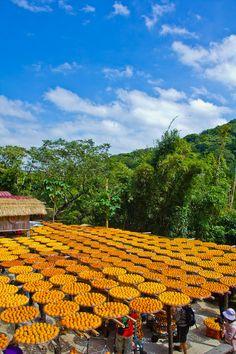 味衛佳柿餅觀光農場:[遊記]【新竹縣新埔鎮】味衛佳觀光果園。壯觀的日曬柿餅美景