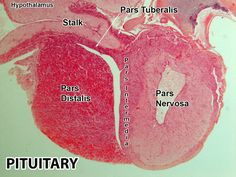 Anterior and posterior  pituitary including  pars nervosa of the posterior pituitary  and and pars distalis of anterior  pituitary. The pars intermedia is seen between them