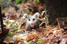 Very young baby opossum doing some exploring - by: Iluska Magalhaes