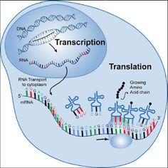 AP Biology for Dummies: Translation