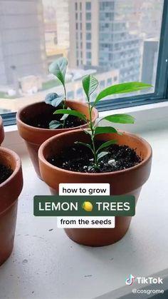 Indoor Vegetable Gardening, Home Vegetable Garden, Container Gardening, Garden Plants, Indoor Plants, Potted Garden, Herb Garden, Gardening Tips, Growing Lemon Trees