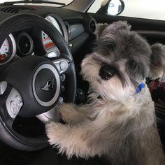 """749 Likes, 36 Comments - (wonder)Wally (@wonderwallythedog) on Instagram: """"Get in human, I am driving today. • • • #driver #schnauzerworld #schnauzer #schnauzerlovers…"""""""