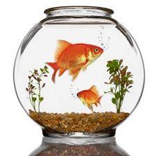 Goldfish Bowl Decoration Ideas Decorate Your Desktop With Our Flower Photos  Goldfish Dahlia
