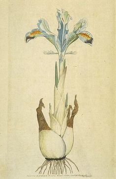 Iris persica, The Botanical Magazine,1792
