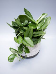 Scindapsus treubii 'Moonlight' is a cousin of the better known Scindapsus pictus. Moonlight showcases almost completely silver leaves with a dash of green. Hoya Plants, Pothos Plant, Decorate Your Room, Plant Care, Botany, Compost, Indoor Plants, Moonlight, Succulents