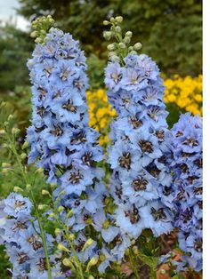 Delphinium elatum Moonlight Heat and humidity tolerant glowing blue flowers with a hint of pink