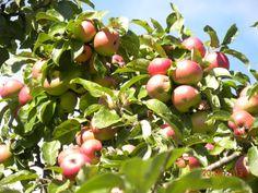 Manzanas sidreras