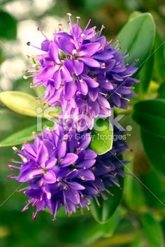 New Zealand Hebe Flower Royalty Free Stock Photo