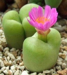 Conophytum Subfenestratum - Indigenous Succulent - Seeds - Button Plants / Knoppies