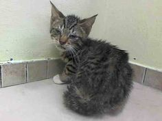 TO BE DESTROYED 7/26/14 ** BABY ALERT! ONLY 10 WEEKS OLD! Arizona interacted with the Assessor, solicits attention, is easy to handle and tolerates all petting. Noted that he was being treated for URI ** Brooklyn Center  My name is ARIZONA. My Animal ID # is A1007555. I am a male blk tabby domestic sh mix. The shelter thinks I am about 10 WEEKS old.  I came in the shelter as a STRAY on 07/21/2014 from NY 11691