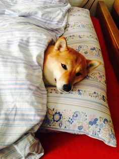 Adorable Shiba Inu dog taking a well deserved nap.