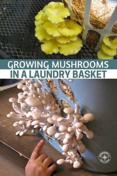 Growing Mushrooms In A Laundry Basket Growing Mushrooms In A Laundry Basket - Grow mushrooms with a Growing Mushrooms At Home, Garden Mushrooms, Edible Mushrooms, Wild Mushrooms, Stuffed Mushrooms, Grow Your Own Mushrooms, Mushrooms Recipes, Indoor Gardening Supplies, Container Gardening