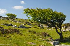 Wind-blown trees on Bodmin Moor, Cornwall