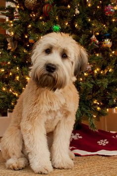 My beautiful Wheaten Terrier named Stella!!