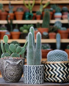 "1,926 Likes, 10 Comments - کاکتوس🌸ساکولنتcactus🌵succulent (@amin_hajimohamadi) on Instagram: ""📷 : @earthwindandcactus #🌵 #cactus #succulent #succulents #cacti #cacto #kaktus #кактус #多肉植物 #多肉…"""