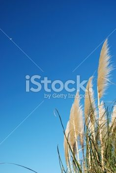 NZ native 'Toitoi' or 'Toetoe' grass heads blowing in the breeze; Sky Moon, Moon Photos, Image Now, Grass, Royalty Free Stock Photos, Amp, Photography, Photograph, Grasses