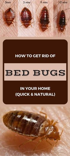 Learn how to get rid of bed bugs in your home (quick and natural).