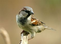 The American Tree Sparrow (Spizella arborea), formerly known as the Winter Sparrow, is a medium-sized sparrow.