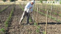 How to Tie and Stake Tomato Plants