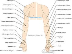 Medical Spanish Terminology  | Regions of upper limb - Human anatomy (Drawings)…