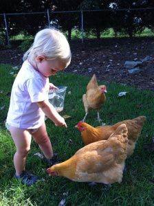 Buff Orpington chickens are the friendliest dual-purpose breed. <3