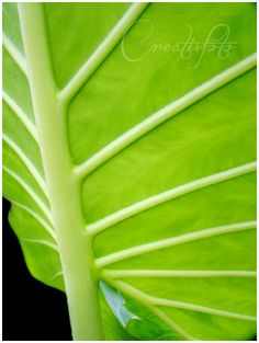Kristen Olivares-Fine Art Photography-Elephant ear leaf