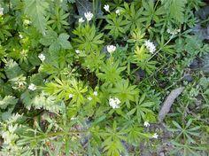 """Lievevrouwebedstro - Galium odoratum   Hier langs Buiten Smedenvest.   De plant is gewijd aan Maria en de naam bedstro is ontstaan omdat het als strooikruid in de slaapkamers werd gebruikt en dat het bij ziekte boven het bed werd opgehangen. Galium komt van het Griekse gala (melk). Vroeger werden deze planten gebruikt om melk te stremmen (kaasbereiding). Odoratum betekent """" zeer welriekend"""" ."""