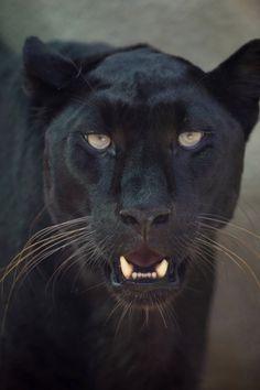 Leopard Pictures, leopard facts, leopard information, leopard wallpaper Leopard Pictures, Panther Pictures, Panther Leopard, Leopard Face, Beautiful Cats, Animals Beautiful, Cute Animals, Jaguar Tier, Animal Jaguar