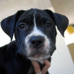 This #Boxer blend #puppy has a great personality, loves to play and, with love and training, will grow into a great family #dog. #Adopt her in #SoCal!