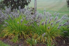 Perennial Purple Ornamental Grass - News - Bubblews