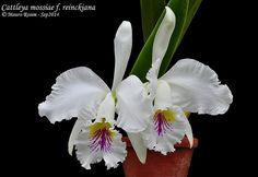 Cattleya mossiae f. reineckiana | Mauro Rosim | Flickr