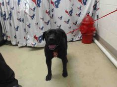 This DOG - ID#A468696 - URGENT - Harris County Animal Shelter in Houston, Texas - ADOPT OR FOSTER - 4 year old Male Labrador Retriever/Pit Bull Terrier mix - at the shelter since Sep 20, 2016.