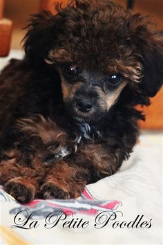 """Acquire excellent pointers on """"poodle puppies"""". They are available for you on our web site. Teacup Poodle Puppies, Tea Cup Poodle, Poodle Mix, Cute Puppies, Cute Dogs, Toy Puppies, Beagle, Basenji Puppy, Jack Russell Terrier"""