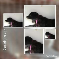11/17/16-HOUSTON - SUPER URGENT - HIGH KILL FACILITY IS OVER CAPACITY -This DOG - ID#A472534 I am a male, black Cocker Spaniel. My age is unknown. I have been at the shelter since Nov 17, 2016. This information was refreshed 46 minutes ago and may not represent all of the animals at the Harris County Public Health and Environmental Services.