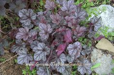 Growing The Home Garden: 5 Heucheras and How They Perform