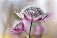 Astrantia | by Mandy Disher