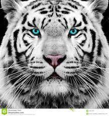 Bildergebnis für tiger