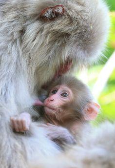 国の天然記念物に指定され、「北限のサル」として知られる青森県・下北半島のニホンザルが出産期を迎えた。赤ちゃんは4月中旬に確認されたといい、母親に甘えながら元気に育っている。